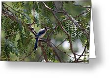 Mississippi Blue Jay Greeting Card