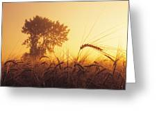 Mist In A Barley Field At Sunset Greeting Card