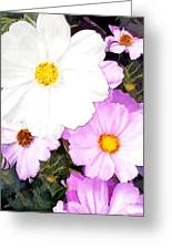 Mixed Pink And White Cosmos Greeting Card