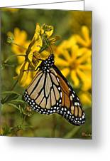 Monarch Butterfly On Tickseed Sunflower Din146 Greeting Card
