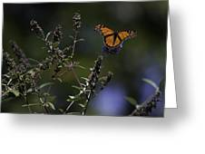 Monarch In Morning Light Greeting Card