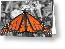 Monarch On Black And White Greeting Card