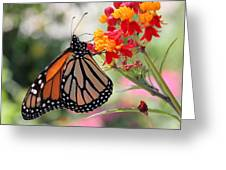 Monarch On Butterfly Weed Greeting Card