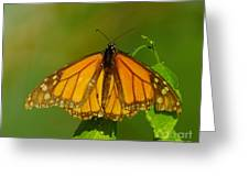 Monarch On Hackberry Greeting Card