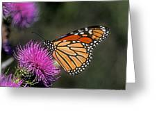 Monarch On Thistle 13f Greeting Card