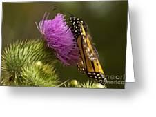 Monarch Thistle Munching Greeting Card