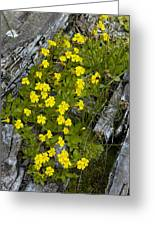 Monkey-flower (mimulus Primuloides) Greeting Card