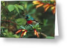 Montane Double-collared Sunbird Greeting Card