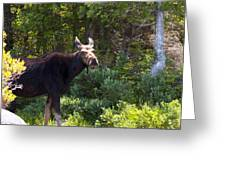 Moose Baxter State Park 4 Greeting Card