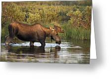 Moose Drinking In A Pond, Tombstone Greeting Card