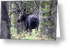 Moose Looks Greeting Card