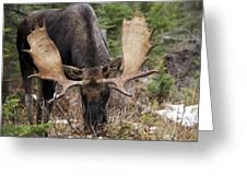 Moose. Male Feeding In A Forested Area Greeting Card