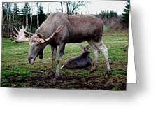 Moose Rest Greeting Card