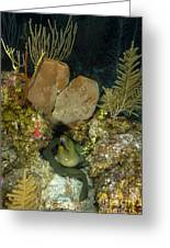 Moray Eel, Belize Greeting Card