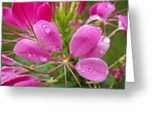 Morning Dew On Pink Cleome Greeting Card
