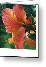 Morning Light Through A Hibiscus Greeting Card