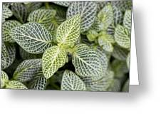 Mosaic Plant (fittonia Albivenis) Leaves Greeting Card