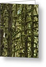 Moss Covered Trees, Hoh Rainforest Greeting Card