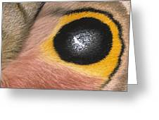 Moth Automeris Zozine Detail Of False Greeting Card