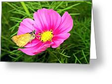 Moth On A Cosmos Greeting Card