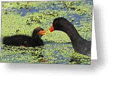 Mother Common Gallinule Feeding Baby Chick Greeting Card
