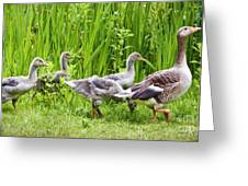 Mother Goose Leading Goslings Greeting Card by Simon Bratt Photography LRPS