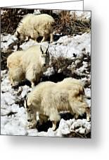 Mountain Goat Trio Greeting Card