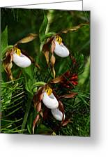 Mountain Lady's Slipper Orchid Greeting Card