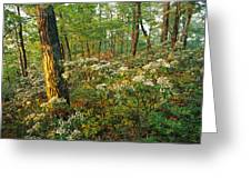 Mountain Laurel Blooming In A Hyner Greeting Card