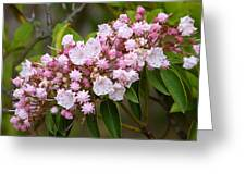 Mountain Laurel Blooming Greeting Card