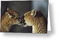 Mountain Lion Felis Concolor Cub Greeting Card by David Ponton