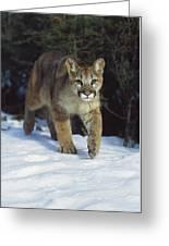 Mountain Lion Felis Concolor Idaho, Usa Greeting Card