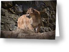 Mountain Lion On The Prowl Greeting Card