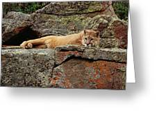 Mountain Lion Puma Concolor Lounging Greeting Card by Gerry Ellis