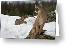 Mountain Lion Puma Concolor Sitting Greeting Card