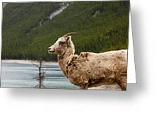 Mountain Sheep 1639 Greeting Card