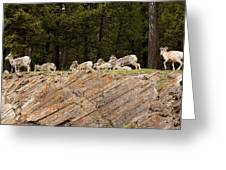 Mountain Sheep 1673 Greeting Card