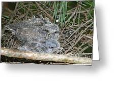 Mourning Dove Chicks Greeting Card