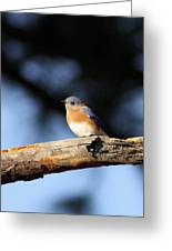 Mr. Bluebird Greeting Card