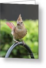 Mrs Cardinal Greeting Card