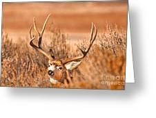 Mule Deer Buck Closeup Greeting Card