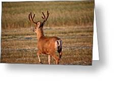 Mule Deer Buck In An Alberta Field Greeting Card