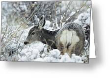 Mule Deer Odocoileus Hemionus In Snow Greeting Card