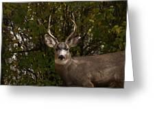 Mulie Buck Greeting Card