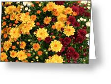Multi Colored Mums Greeting Card