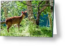 Muntjac Deer - Muntiacus Reevesi Greeting Card