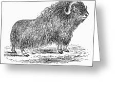 Musk Ox Greeting Card