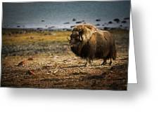 Muskox Ovibos Moschatusin The Northwest Greeting Card