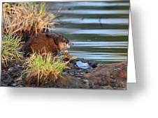 Muskrat Feeding Greeting Card