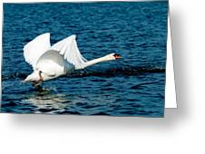 Mute Swan Gaining Momentum Greeting Card